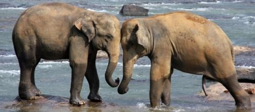 Photo Sri Lanka elephants via Pixabay by TiBine/CC0