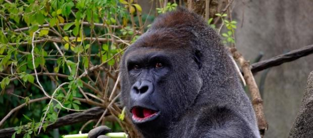 Mountain gorillas have similar herpes virus seen in humans. Image source: Pixabay