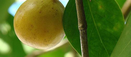 Hippomane mancinella es el árbol más peligroso del mundo