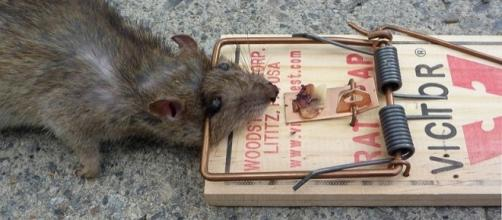 Rat in a trap (credit – Glogger, wikimediacommons)