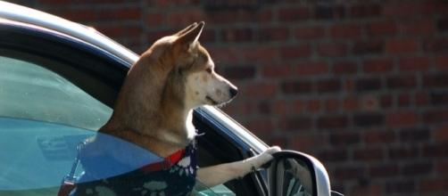 Traveling is better when you have your trusty pet by your side. (Photo by Ludovic Bertron/wikimedia.org)