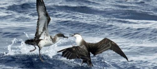 Great Shearwater in North Carolina (credit – Dick Daniels – wikimediacommons)