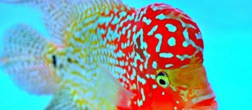 luo han fish | Mita09 | Flickr - flickr.com
