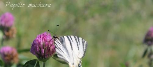 Macaone: farfalla diurna. Foto di Maria Chiara Rosace.