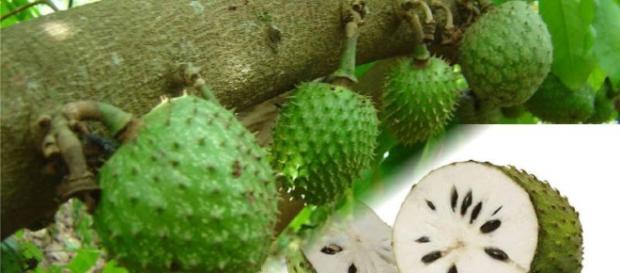 Graviola é uma fruta que tem diversas propriedades e um poder de cura importante. ( Foto: Google)