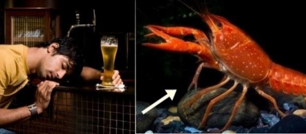 Os lagostins possuem o mesmo nível de intolerância à álcool que o dos humanos