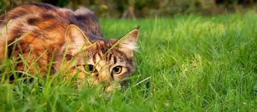 Cats poses a great threat to birds and other native animals - Photo: Wikimedia Commons (Jennifer Barnard)