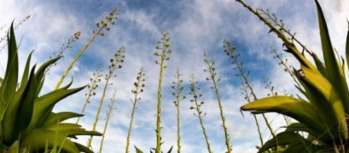 Las levaduras no nativas acaban con la biodiversidad