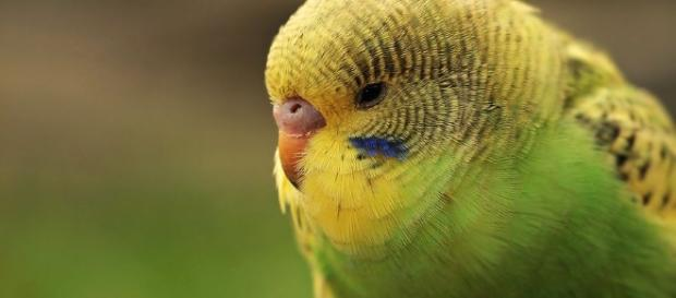 Budgie can be a low cost pet for bird lovers (source: pixabay.com)