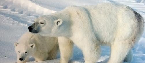 A polar bear sow with a cub (credit – BrockenInaglory – wikimediacommons)