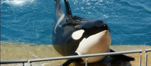 A killer whale calf died at SeaWorld/Photo via Spencer Wright, Flickr
