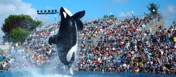 A killer whale pictured performing at the former theatrical shows at Seaworld (Image Credit: Yathin S Krishnappa via Wikimedia Commons)