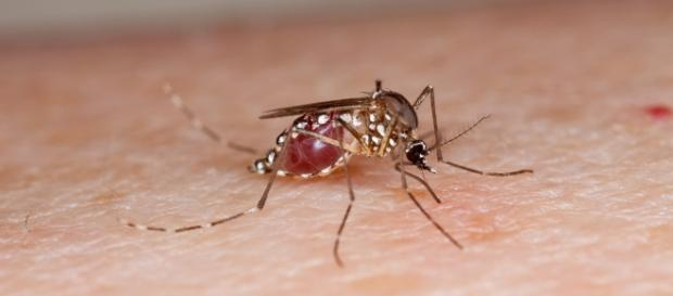 Zika virus is carried by mosquitos.U.S. Department of Agriculture - www.flickr.com