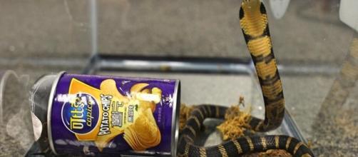 Este tipo de serpientes está catalogada entre las más venenosas (Oficina del Fiscal de Distrito de California).