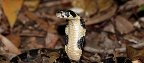 King Cobra snakes are not native to the U.S - via cowyeow, Flickr