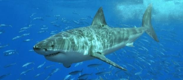 Great white shark at Isla Guadalupe, Mexico, August 2006, in natural light, estimated at 11-12 feet in length. / Photo via Pterantula, Wikipedia.