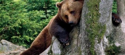 Orso bruno (Ursus arctos) - foto concessa da: ariasottile.net