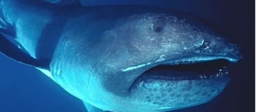 Rare megamouth shark filmed off the Komodo Island (Wikimedia Commons/FLMNH Ichtyology)
