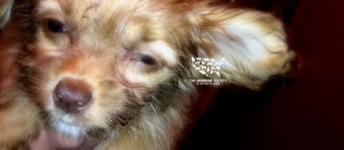 Ailing puppy at the Chelsea Kennel Club [Image: YouTube/ The Humane Society of the United States]