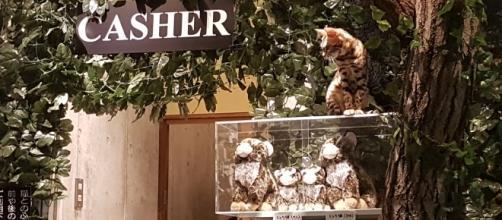 Los cafés de gatos en la ciudad de Tokio.