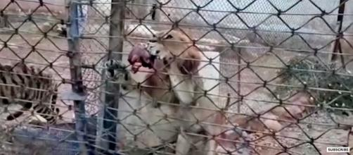 Neglected lion and tiger in the zoo in Aleppo, Syria [Image: YouTube/BBC News]