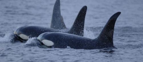 California Bans Captivity, Breeding Of Orcas | Popular Science - popsci.com