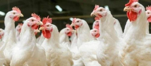 Poultry performance, welfare improved by managing watering systems ... - wattagnet.com