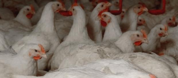 A denúncia grave apontou que os frangos eram diluídos em cloro nos Estados Unidos.