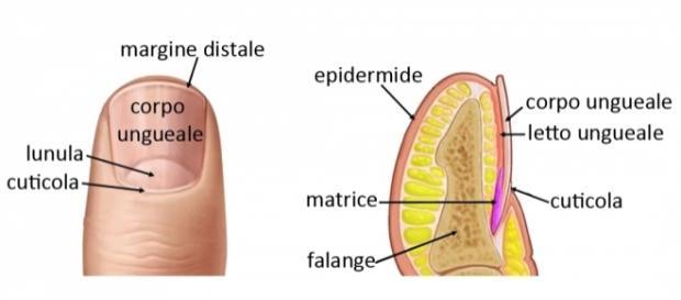 Le unghie | Salute e Benessere - altervista.org