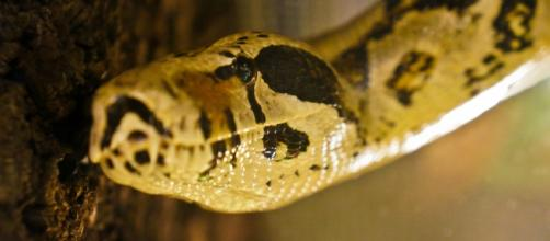 A photo showing a boa constrictor - Flickr/Rolf Venema