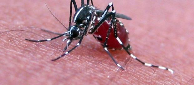 Blood in a mosquito's stomach can help identify the bite victim through DNA testing, Japanese researchers have found. (Photo: Wikipedia)