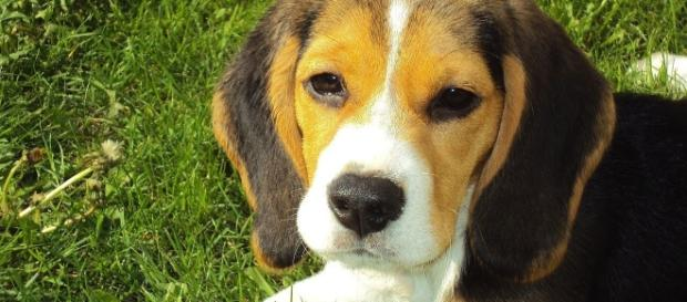 The dogs most often used in animal testing are beagles. [Image via Pixabay]