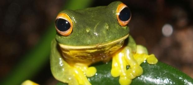 Orange-thighed Frog (Litoria xanthomera) by author Rainforest_harley via Wikimedia Commons