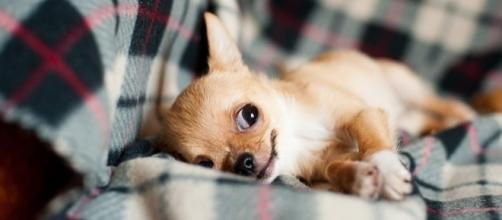 Photo chihuahua puppy via Pixabay by BarnImages / CC0