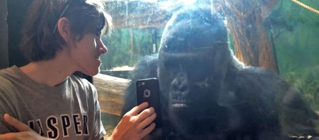 Photo Jelani the silverback gorilla screen capture from YouTube video/Paul Ross