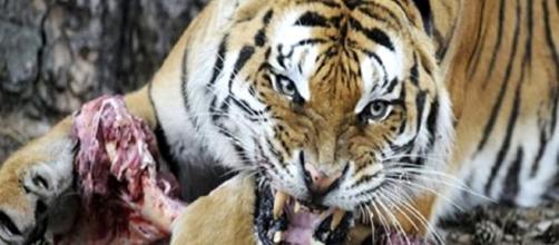 Parentes idosos estão sendo enviados para reservas de tigres para serem mortos pelos animais