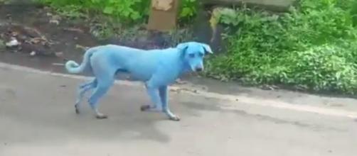 Pelo menos cinco cães azuis foram identificados na Índia - reprodução/Twitter