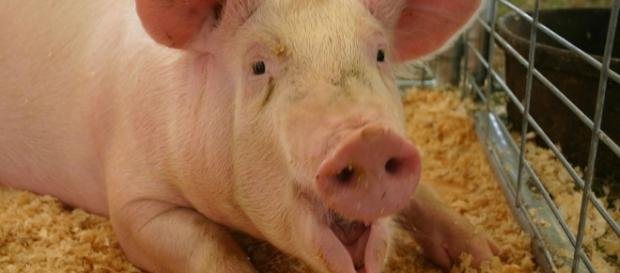 Free photo: Pig, Full Grown, Farm, Mouth Open - Free Image on ... - pixabay.com