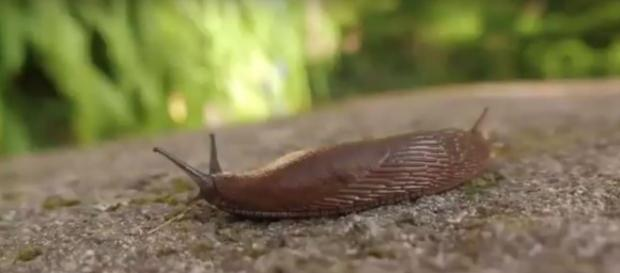 Slug Limo inspires the new surgical wound repair glue via Science and more youtube channel