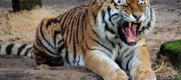 Chinese Horoscope - Tiger Image via pixabay.com