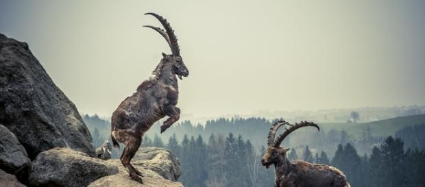 Free photo: Capricorn, Rock, Animal, Mountains - Free Image on ... - pixabay.com