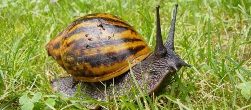 Snails as skin treatment / Photo via Schneckenmama, Wikimedia Commons