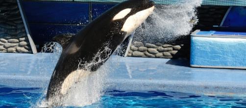 Killer Whale at SeaWorld via Flickr.