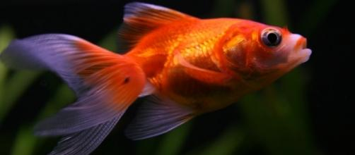 Scientist unlock secrets of how goldfish produce alcohol underwater / Photo via Annie Roi, Flickr