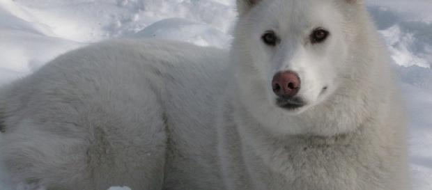 White Siberian Husky- (Wikimedia Commons/Saweiss)