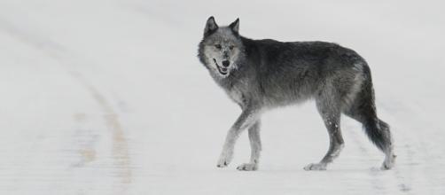 Wolf. Beware. Image via Pixabay.