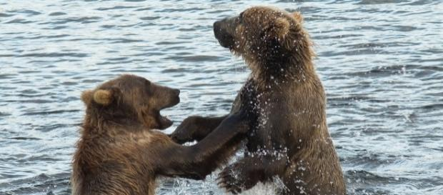 The feeding habits of Kodiak bears are being altered due to the warming climate. Source: Pixabay.com
