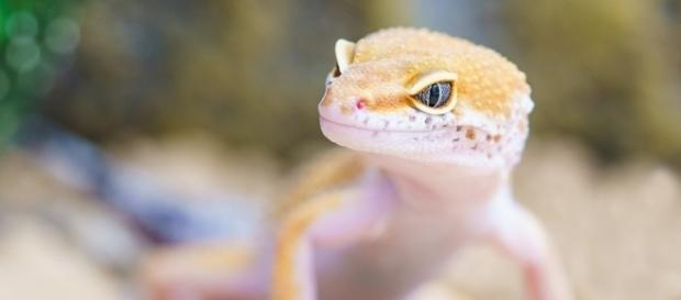 A man in China had a gecko lizard removed from his ear, minus the tail [Image: Pixabay/CC0]