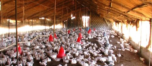 A flock of chickens | photo via Kashif Mardani, Flickr
