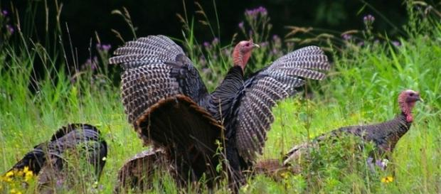 A flock of wild turkeys is causing problems in a Connecticut town after locals fed them [Image: Goodfreephotos/CC0]